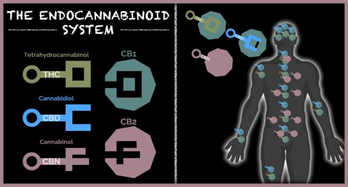 The Endocannabinoid System Diagram