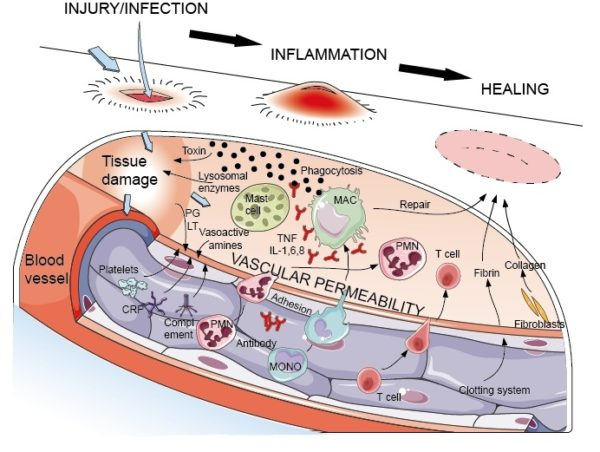 how inflammation occurs in the body